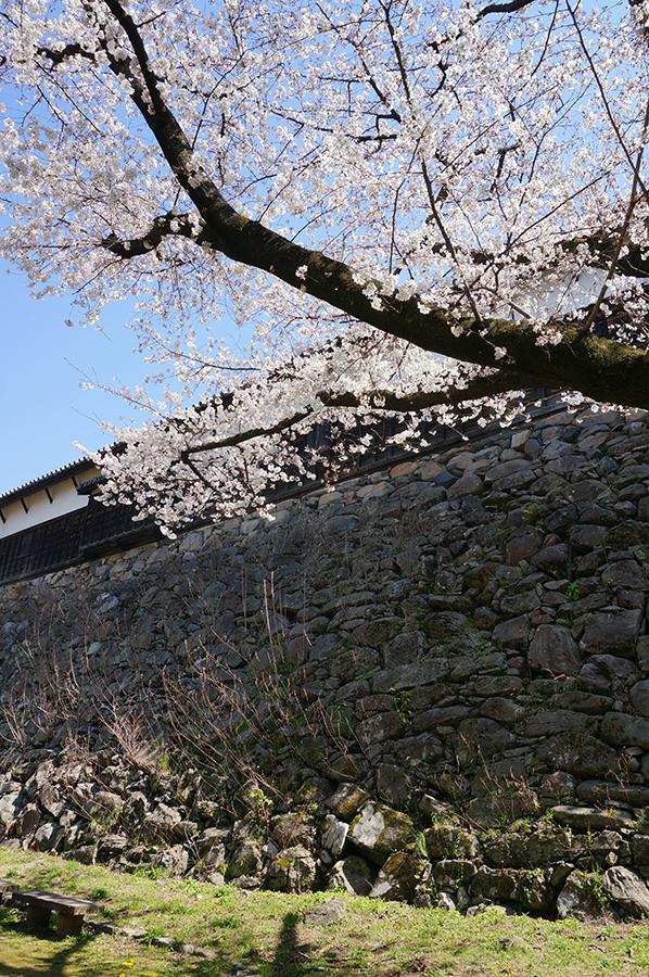 春の絶景スポット♪福岡城跡と舞鶴公園の桜