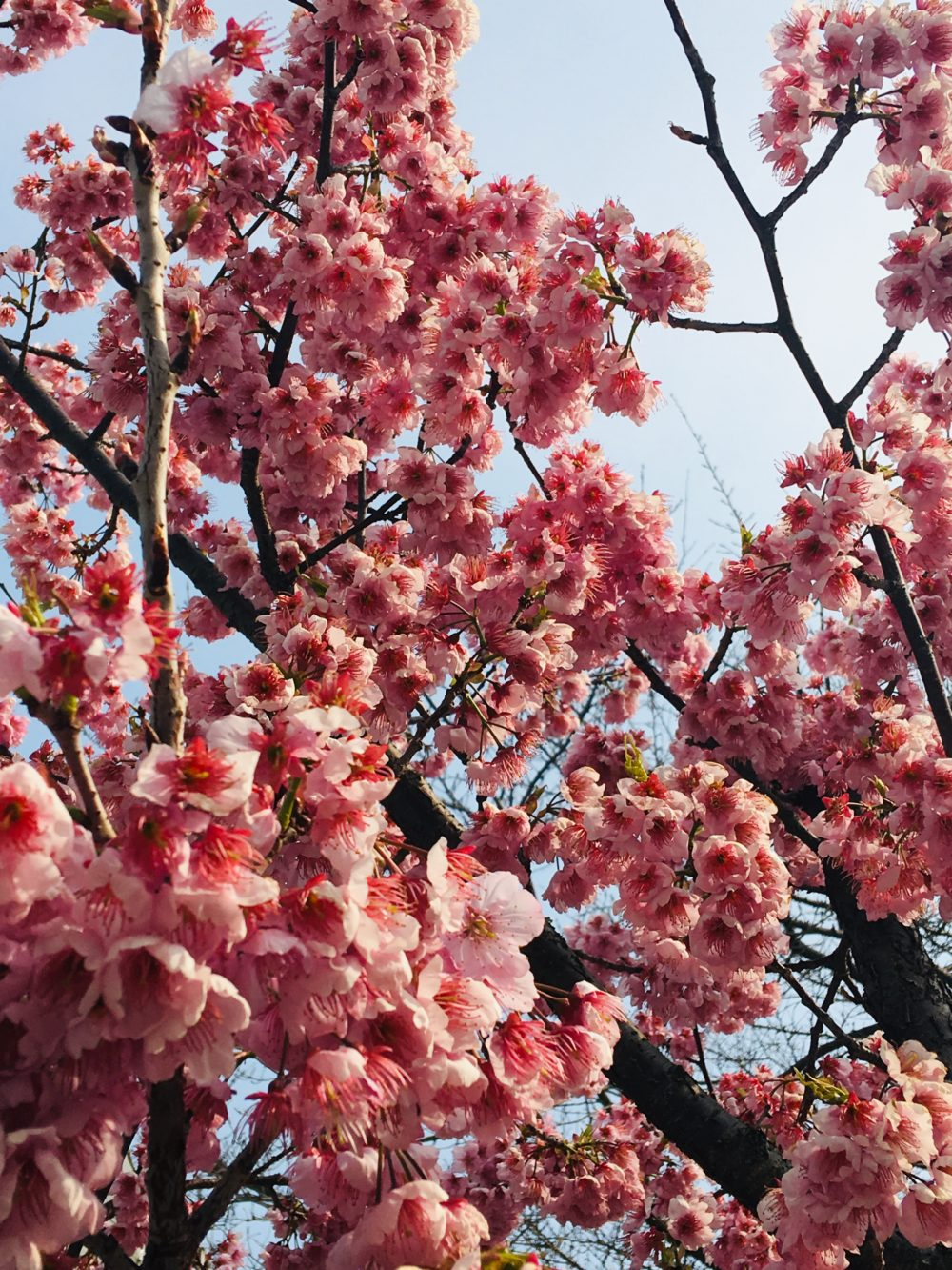 櫛田神社の桜3