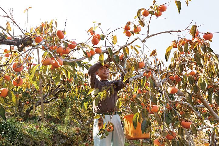うきは市の柿